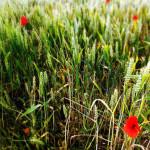 Jakie gatunki traw wykorzystuje hydrosiew?